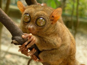 Tarsier, Bohol taken by Robert Verzo